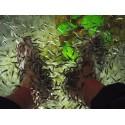 Pack 100 Garra Rufa 4 - 5 cm